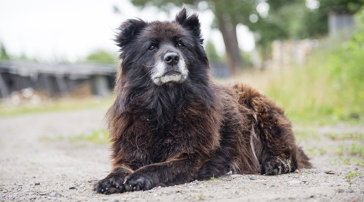 russian bear dog - caucasian shepherd