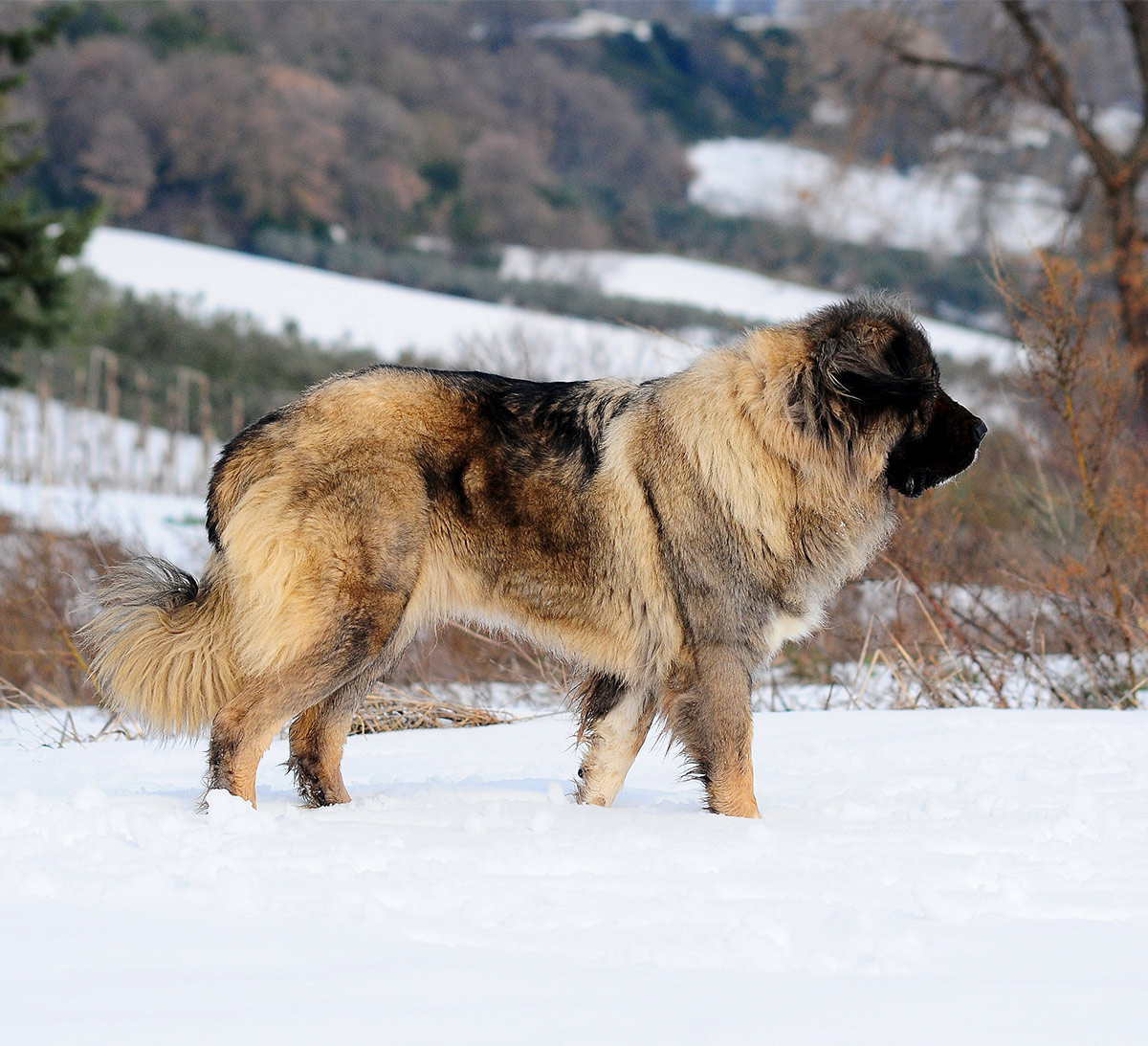 Caucasian Mountain Shepherd For Sale >> Russian Bear Dog A Complete Guide To The Caucasian Shepherd