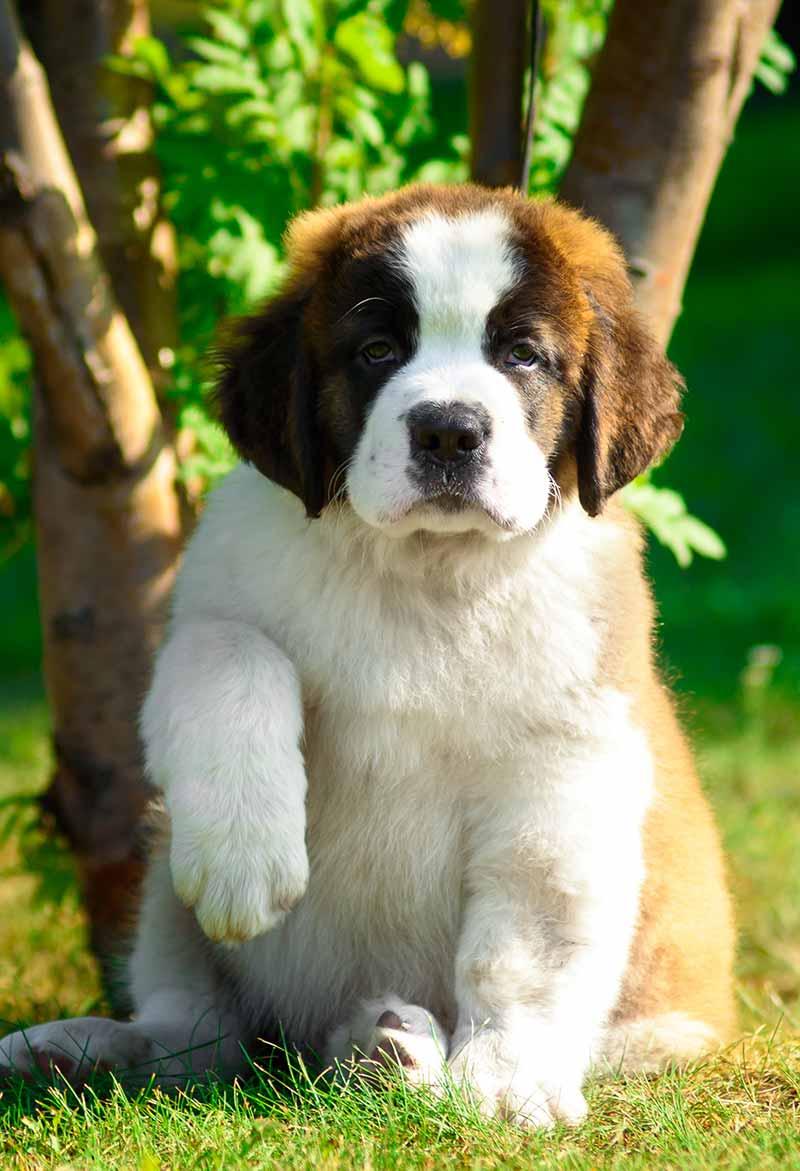 St Bernard Puppy