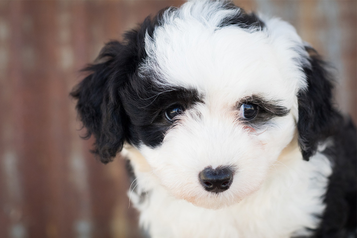 Sheepadoodle The Old English Sheepdog Poodle Mix Breed