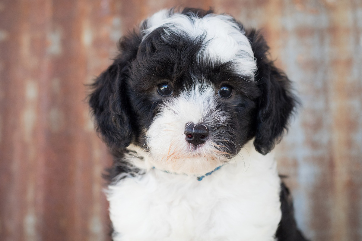 sheepadoodle - old english sheepdog poodle mix