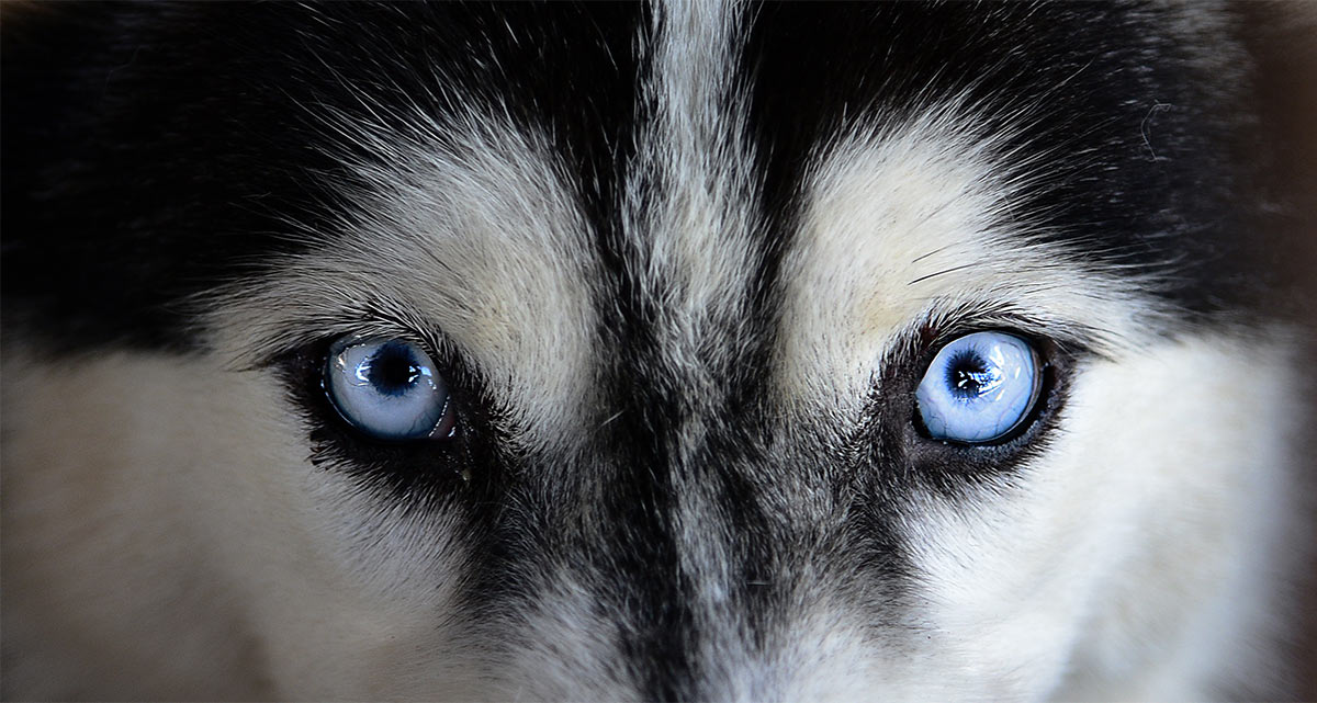 Pictures of Huskies with blue eyes