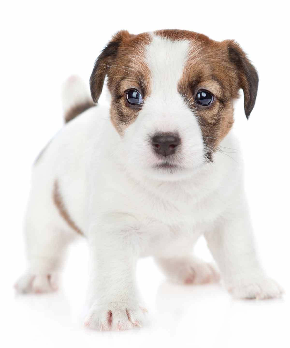 white and brown puppy