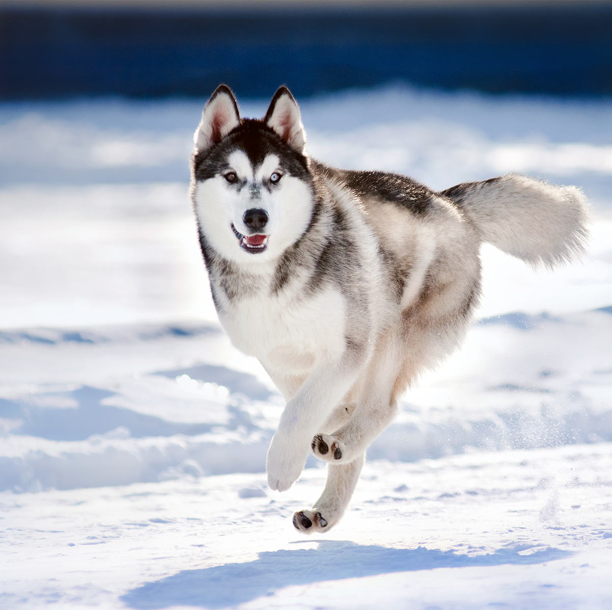 Pictures of Husky dogs