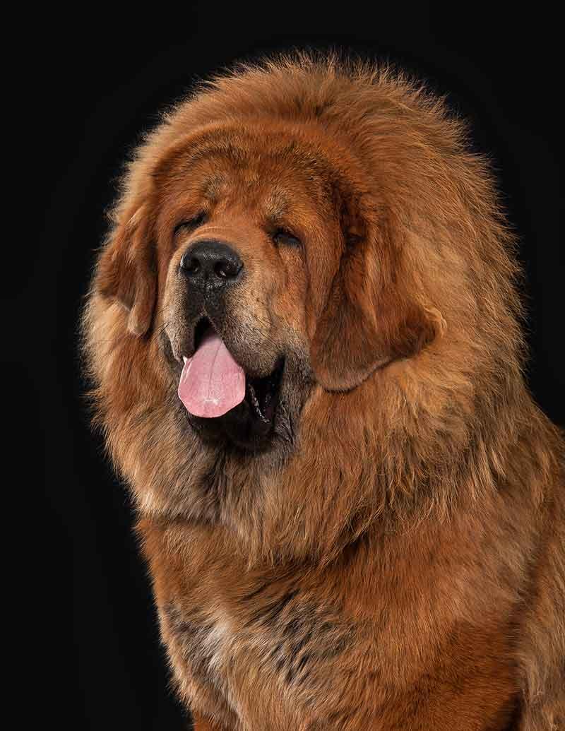 Tibetan mastiff portrait