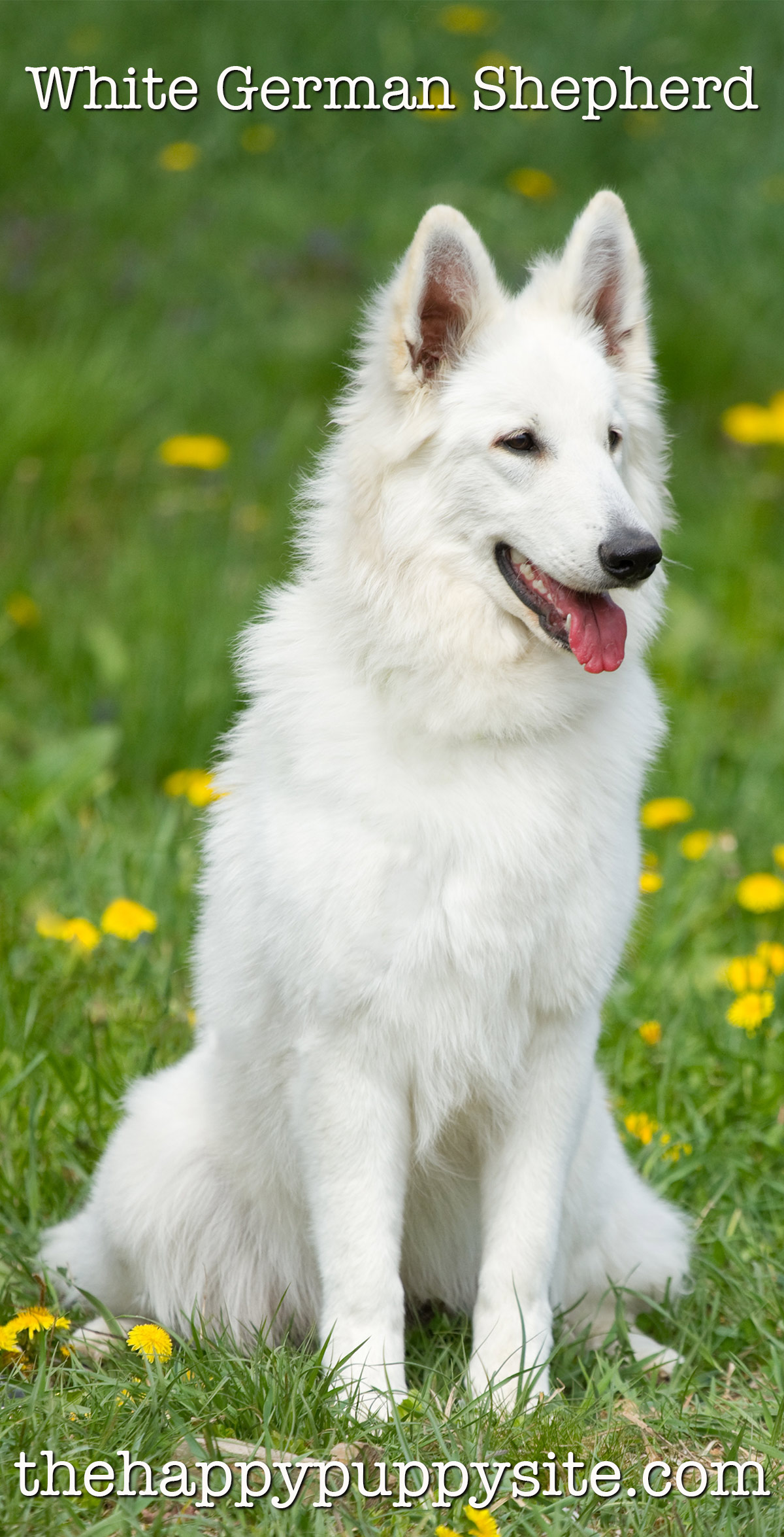 White German Shepherd Dogs