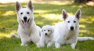 White German Shepherd Dogs