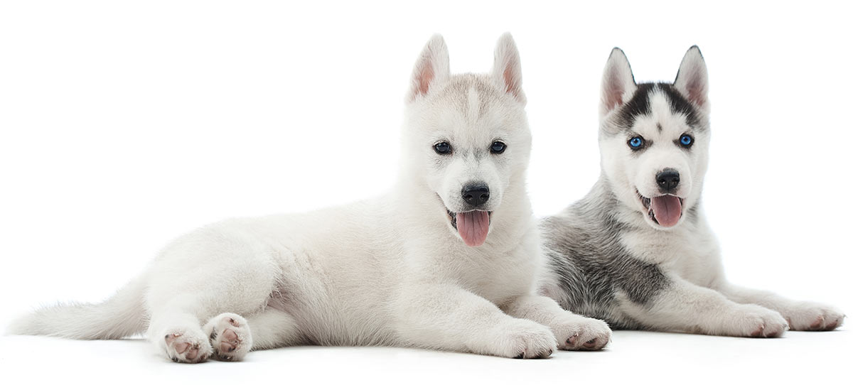 Pictures of Husky puppies