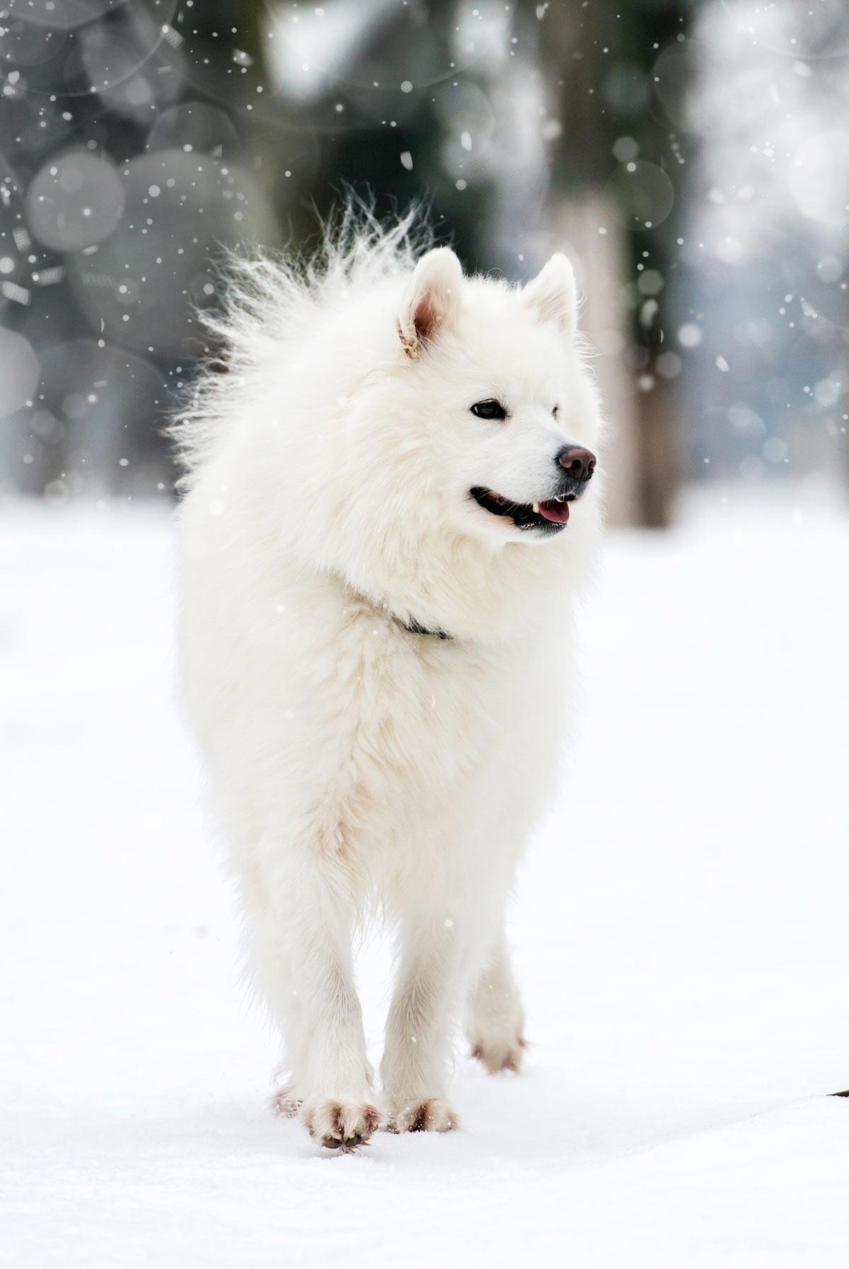 White Husky Photos