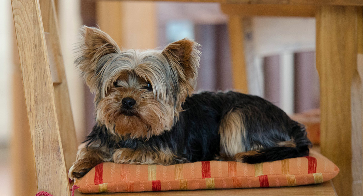 Yorkshire Terriers Might Be Small In Size But Theyre Big Personality And The Best Yorkie Names Know Just How To Show Them Off