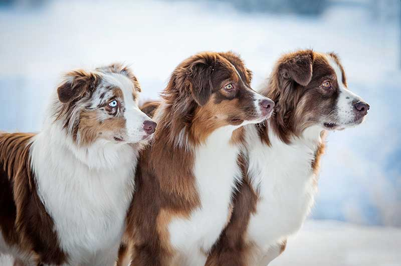 Three Australian Shepherd Dogs