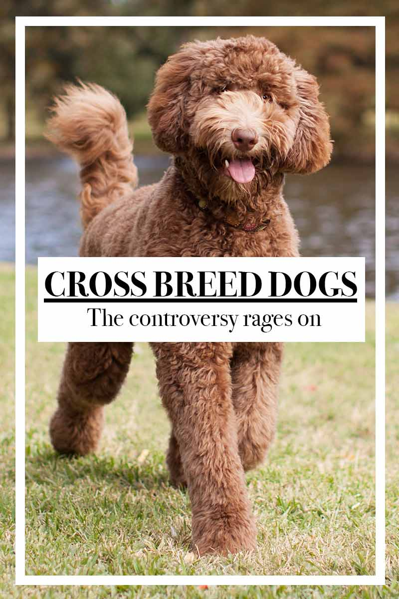 Cross Breed Dogs – The Controversy Rages On.