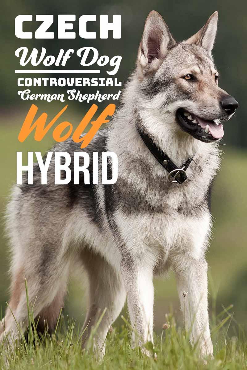 Czechoslovakian Wolf Dog - A dog breed guide.