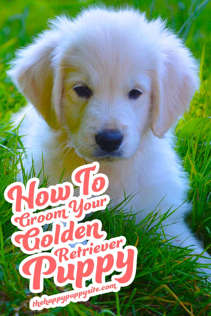 How to groom your Golden Retriever puppy - a dog grooming guide.