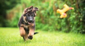 Herding Dogs – Discover 16 Super Smart Herding Dog Breeds