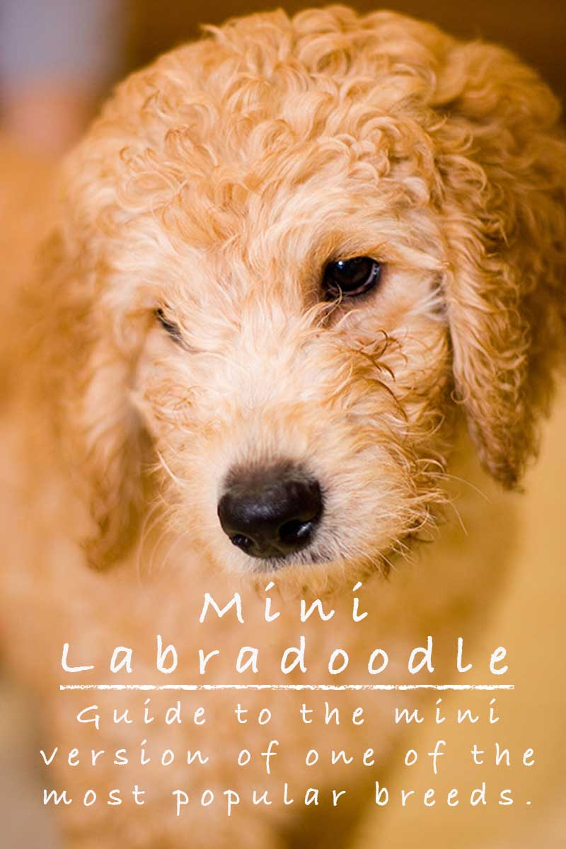 Mini Labradoodles - a guide to the Mini Labradoodle breed.
