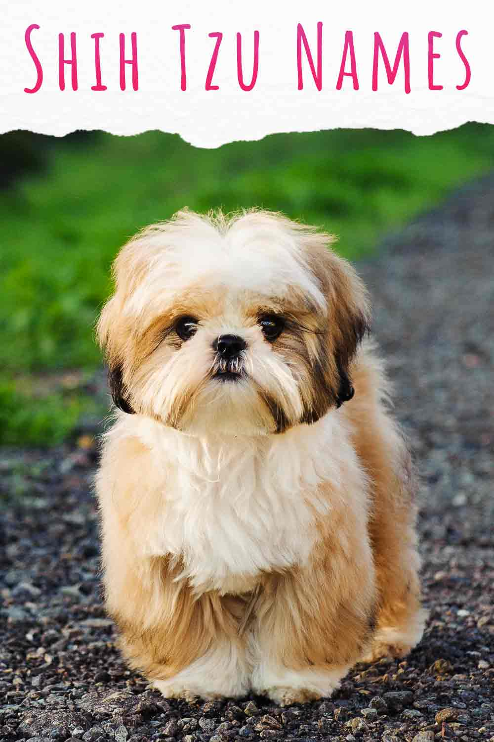 Here's our guide to the very best Shi Tzu dog names