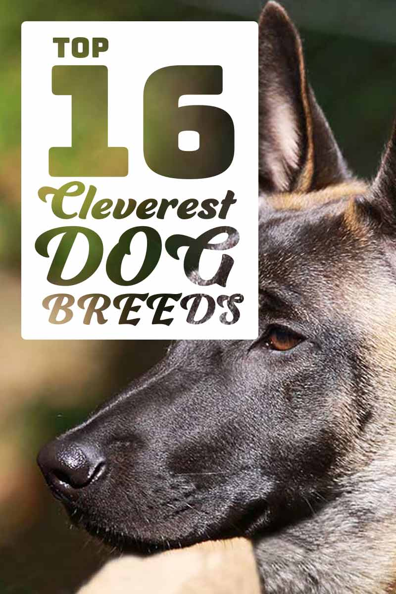 Top 16 Cleverest Dog Breeds - A dog breed guide