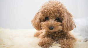 Toy Poodle – All About The World's Cutest, Curliest Dog Breed