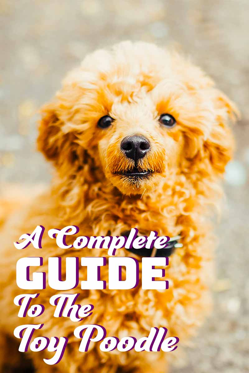 A complete guide to the Toy Poodle - A dog breed guide.