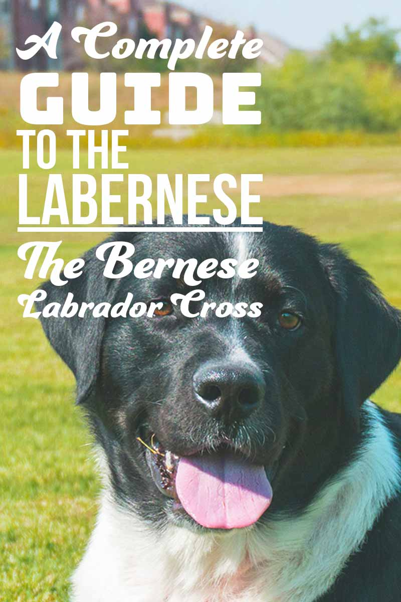 Our complete guide to the Labernese the Bernese Labrador cross - Mix breed guide