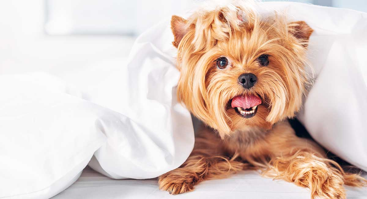 Yorkshire Terrier Dog Breed Information Center: Discover The