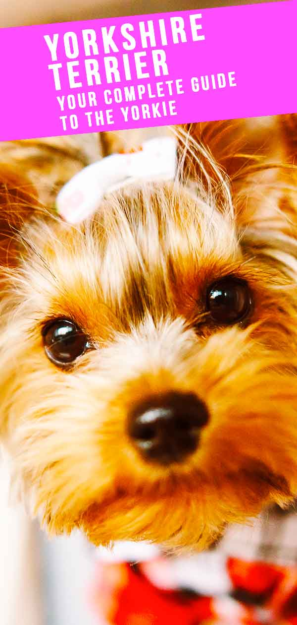 your complete guide to the yorkie