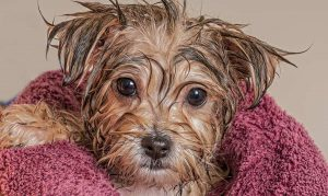 Puppy Bath Time: When and How to Bathe A Puppy