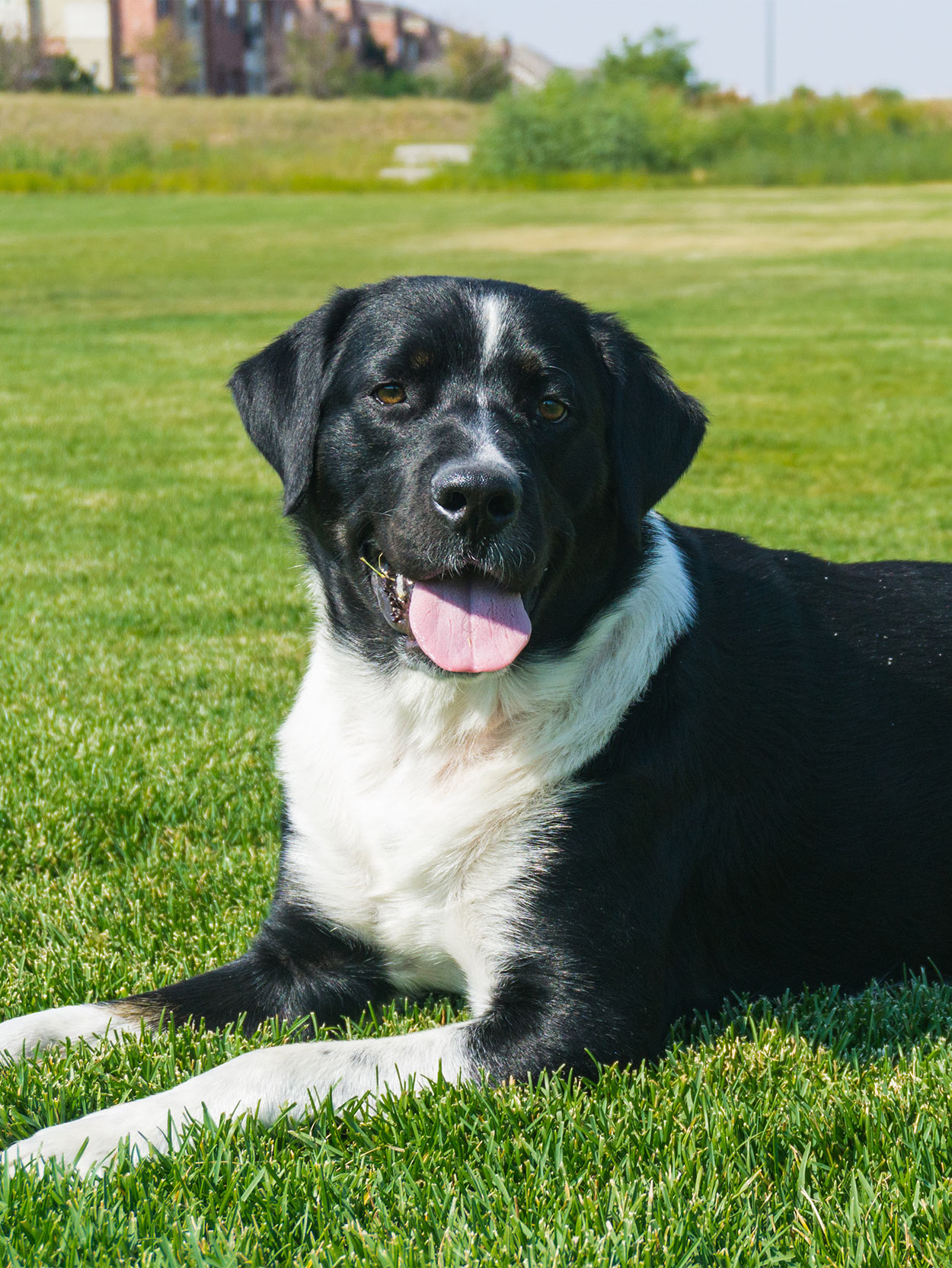labernese - bernese mountain dog lab mix