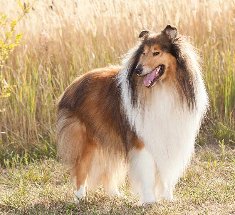 Collie, or Rough Collie as it's known in the UK