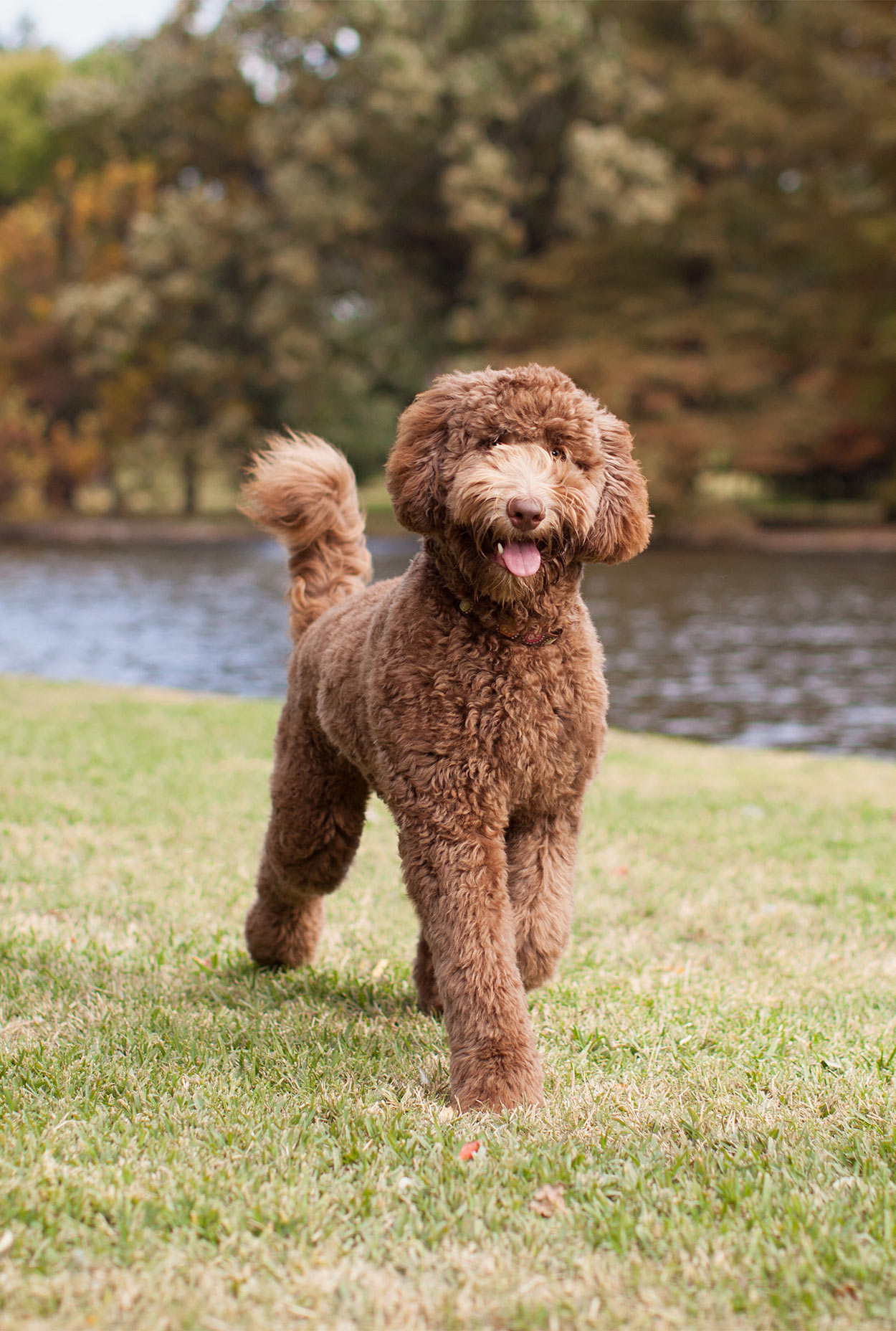labradoodle - cross breed dogs