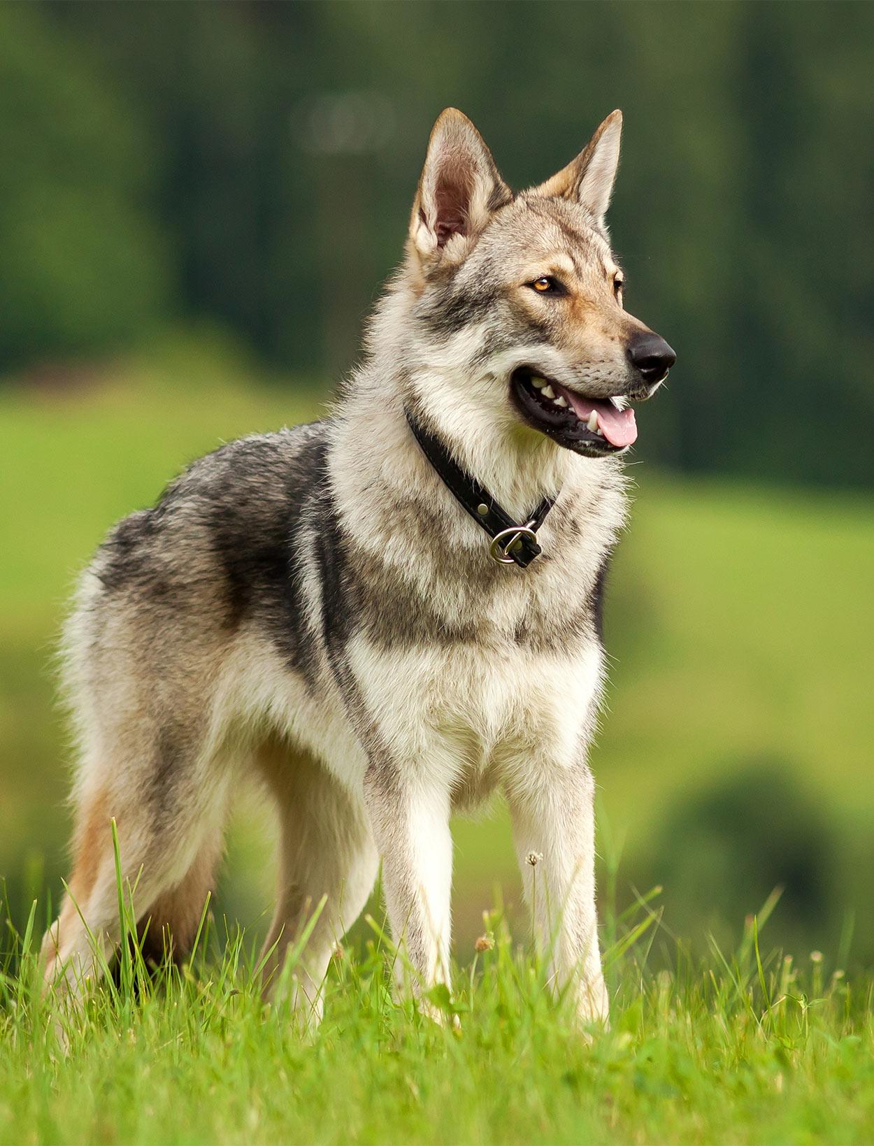 Czechoslovakian Wolfdog Breed Information Center