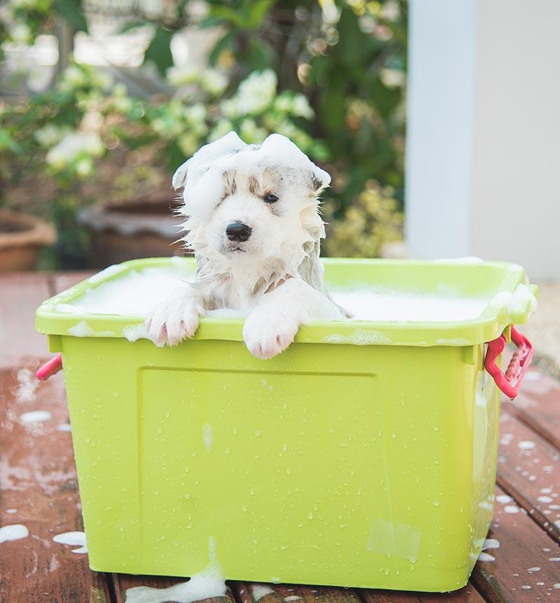 husky puppy bath time in the garden