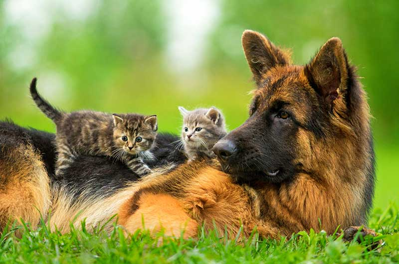 The most popular of our herding dogs is the German Shepherd Dog