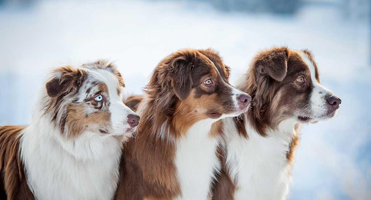 Herding Dogs - the top 16 herding breeds
