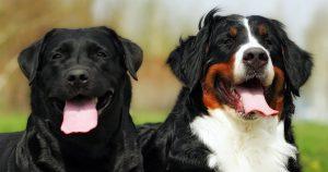 Labernese – The Bernese Mountain Dog Lab Mix