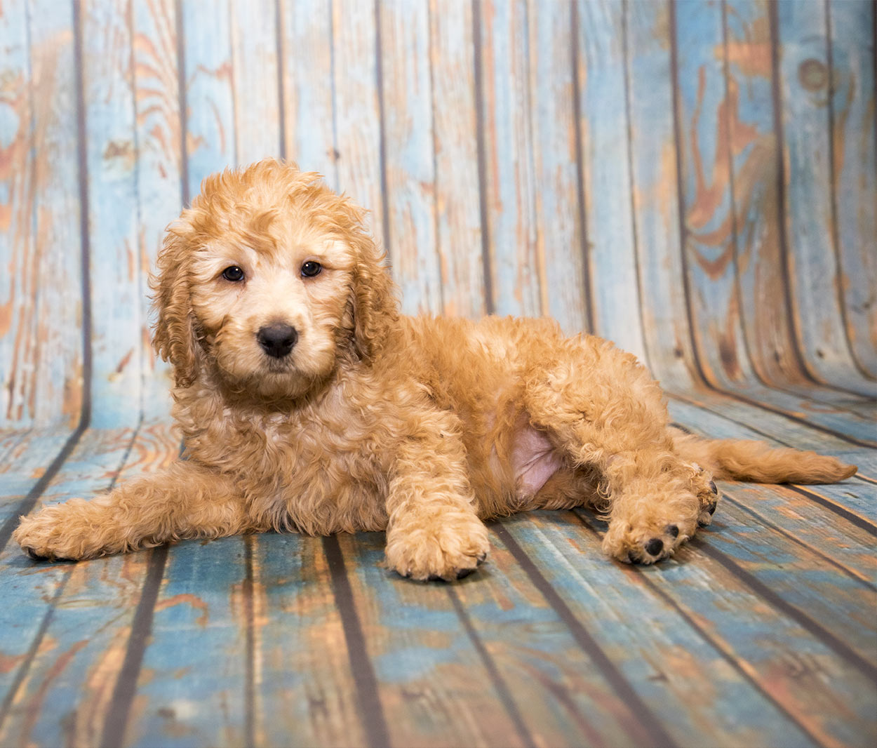 mini labradoodle - the miniature or toy poodle labrador retriever mix