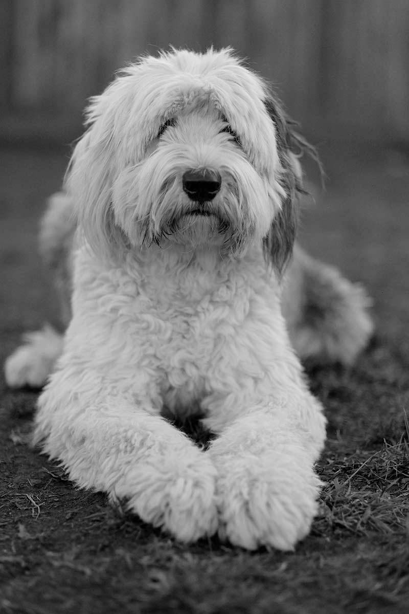 Black and white portrait of an Old English Sheepdog