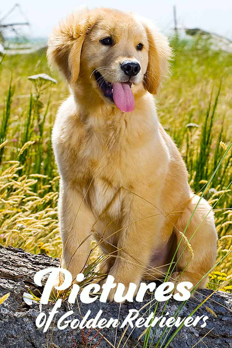 Pictures of golden retrievers - dog photo gallery.