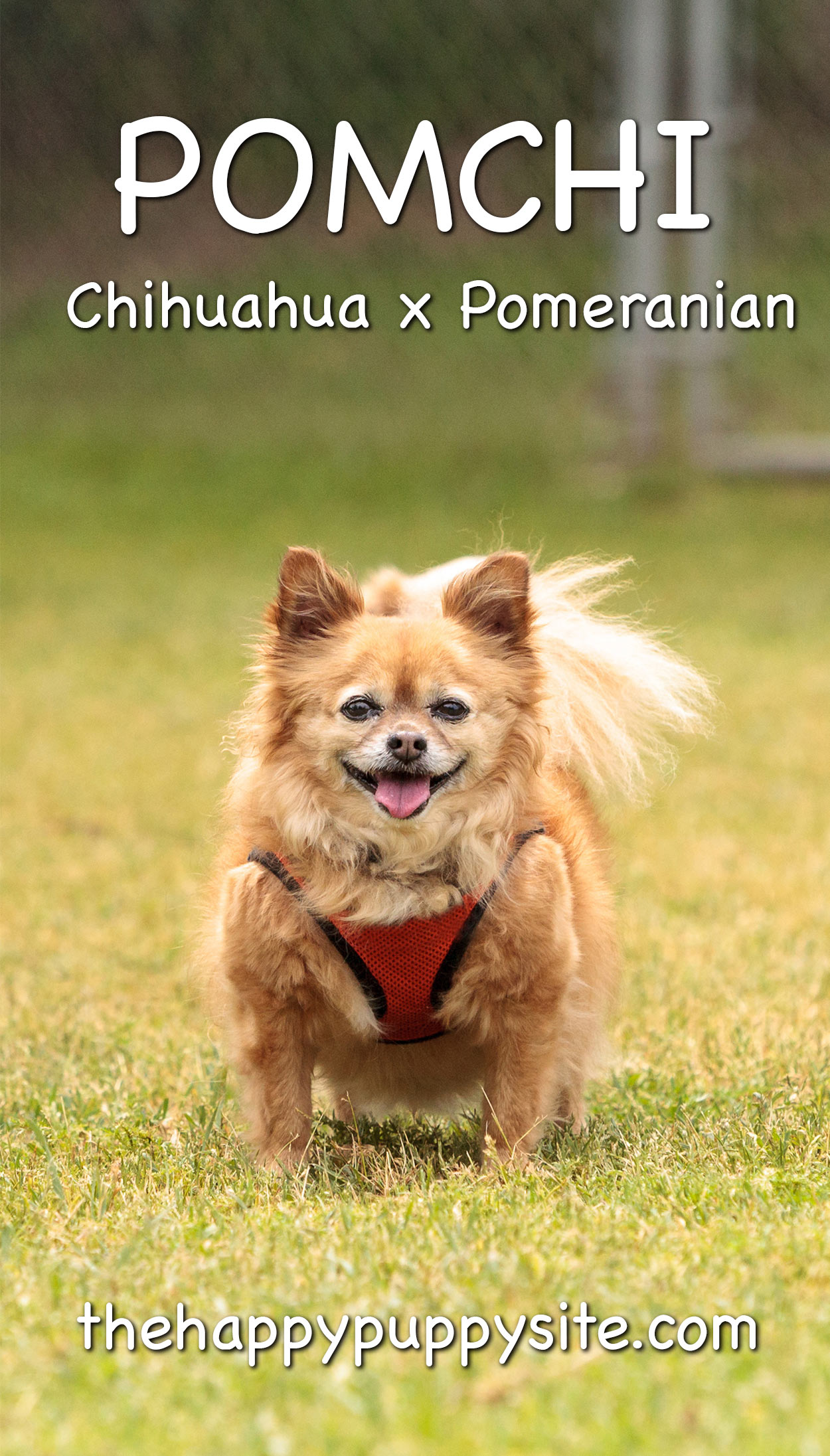 Pomchi - The Chihuahua Pomeranian Mix