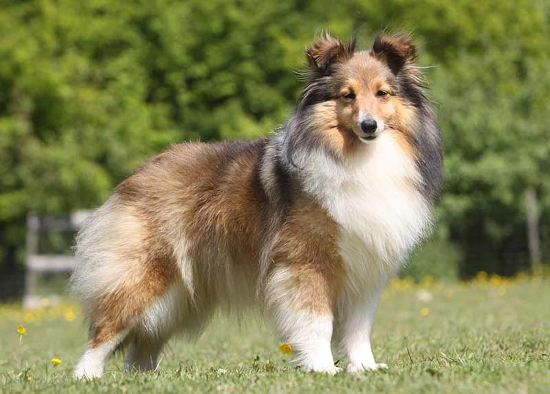 The Shetland Sheepdog - the fourth most popular herding breed