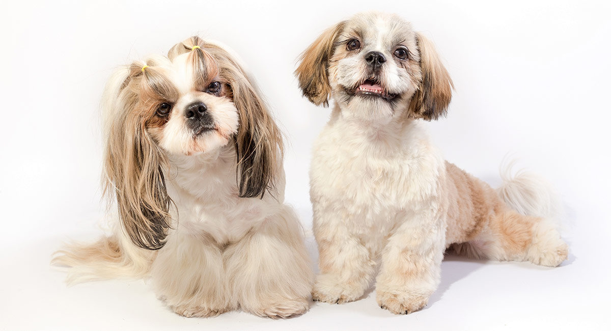 Shih Tzu bulldog mix
