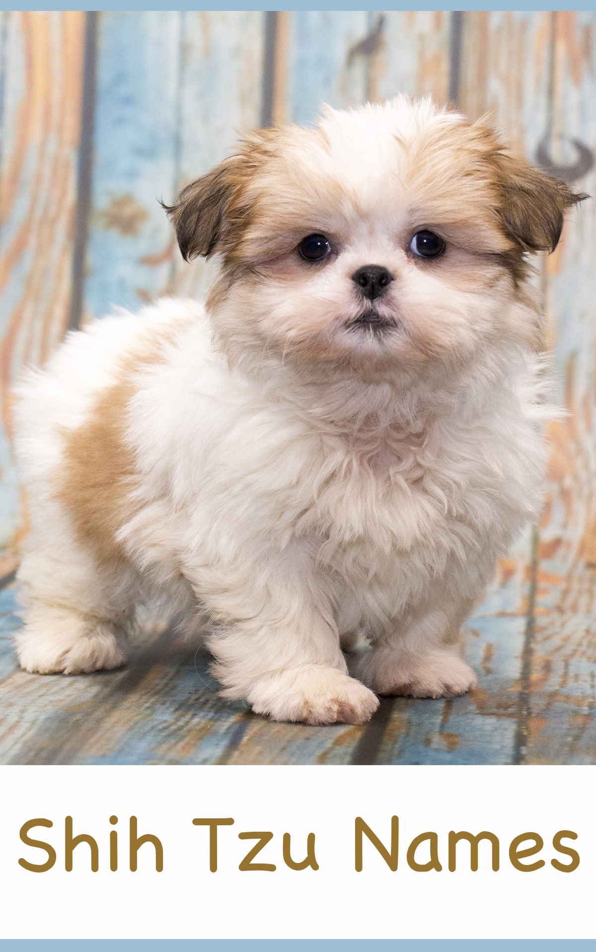 shih tzu puppis shih tzu names adorable to awesome ideas for naming your 7393