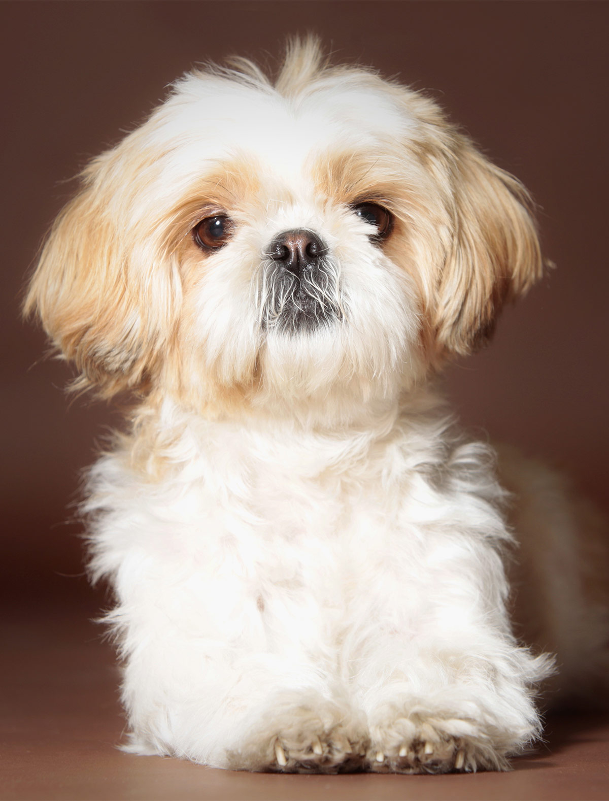 shih tzu puppis shih tzu names adorable to awesome ideas for naming your 1400