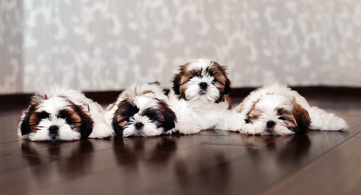 Male Shih Tzu Names