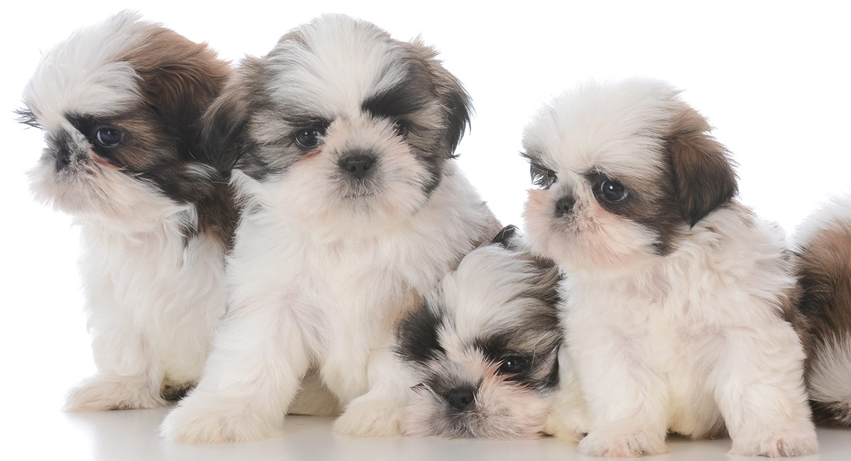 Female Shih Tzu Names