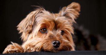 Yorkshire Terrier: Your In Depth Guide To The Delightful Yorkie