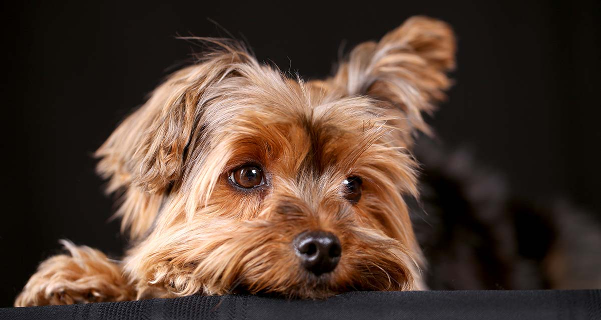 How to Care for Yorkshire Terriers advise