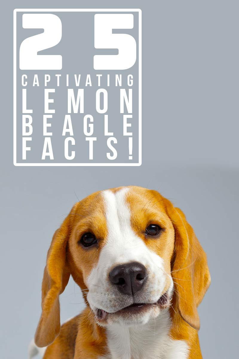 25 captivating Lemon Beagle facts! - Interesting facts about dogs.