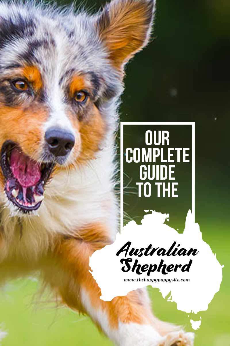 Our complete guide to the Australian Shepherd - A dog breed guide.